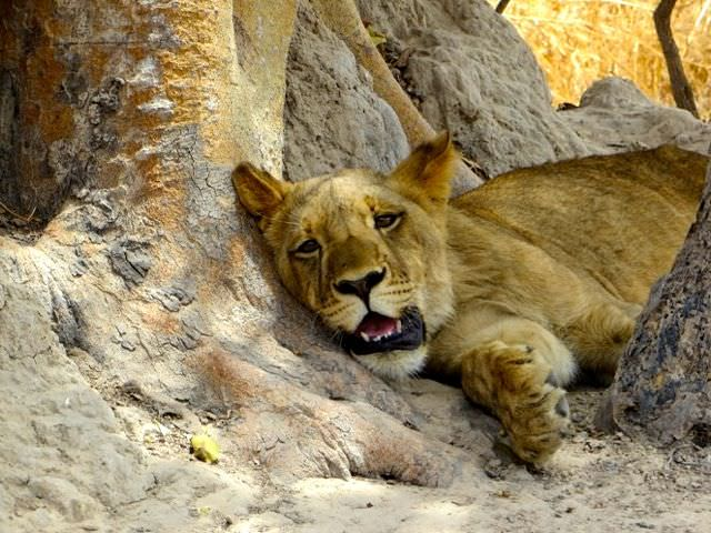 Lion Walk Africa not much better than bullfighting in Spain