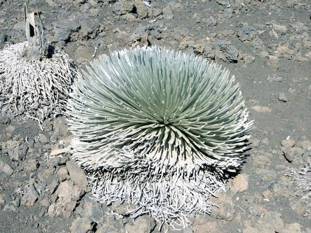 Silver plant Weirdest Places on Earth