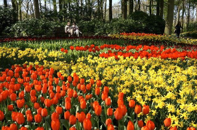 Tulips in Amsterdam Keukenhof Gardens