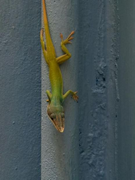 Lizard Cuba Varadero Beach