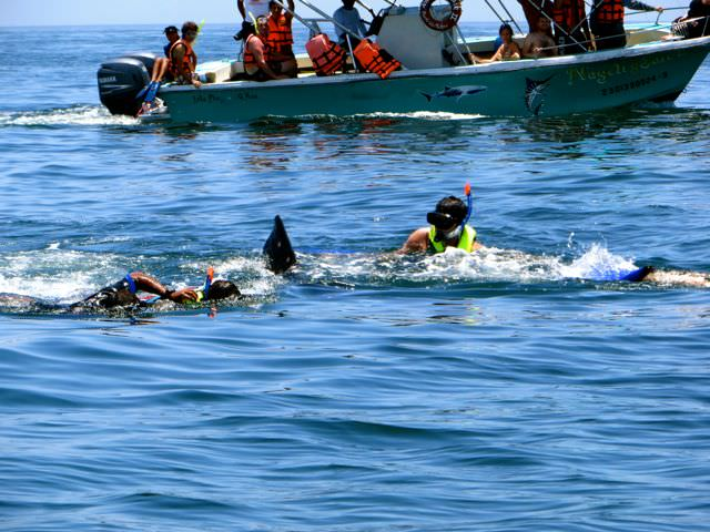 Swimming with whale sharks in mexico realities