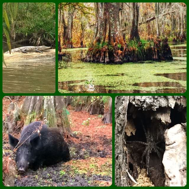 Louisiana swamp tour including wild boar and alligator