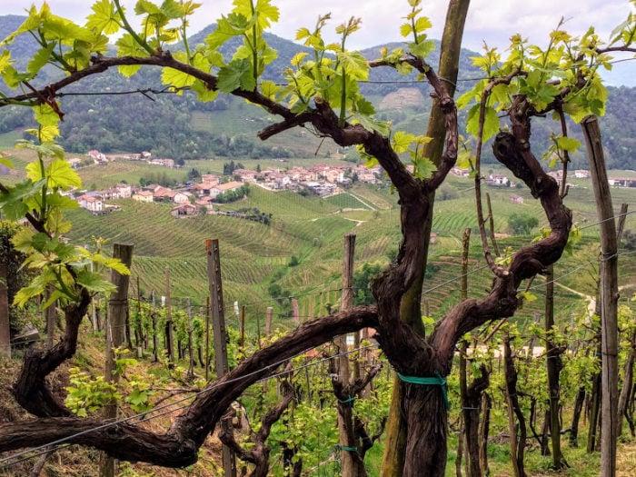 Wine tour from Venice Prosecco Region Visit Prosecco Italy Vines