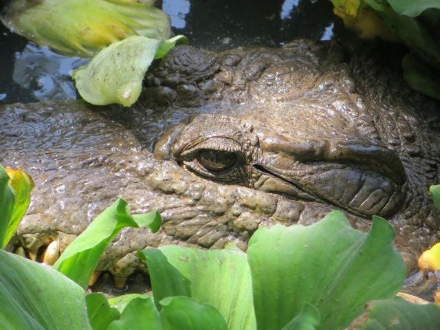 Safari packing list crocodile