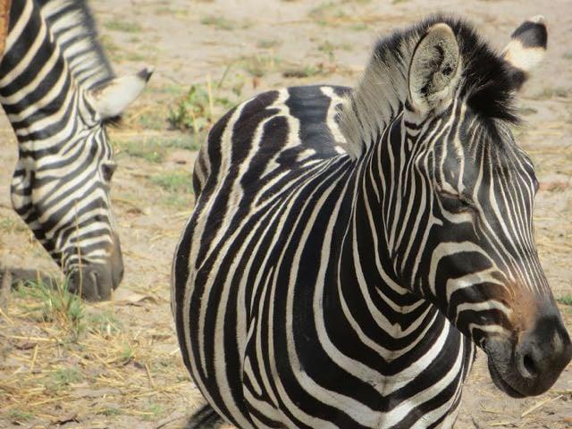 Safari packing list - zebra