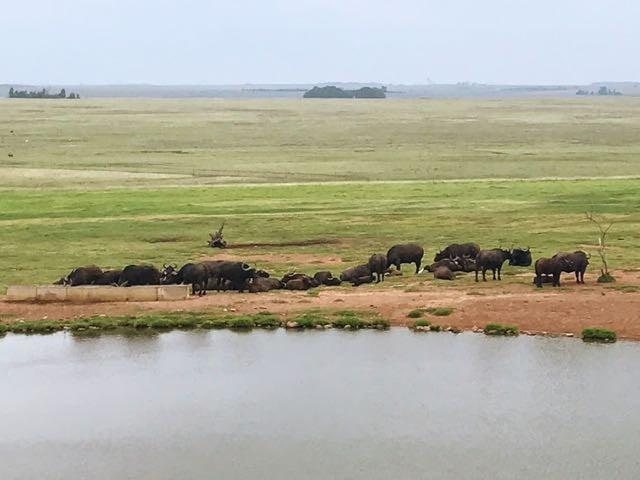 Kruger Safari from Johannesburg - Water buffalo