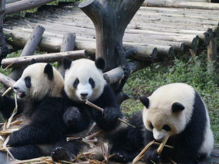 How To Do Your Own Panda Tour in Chengdu