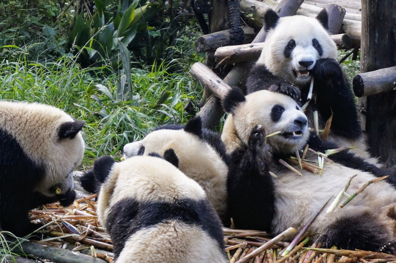 How To Do Your Own Panda Tour in Chengdu 4