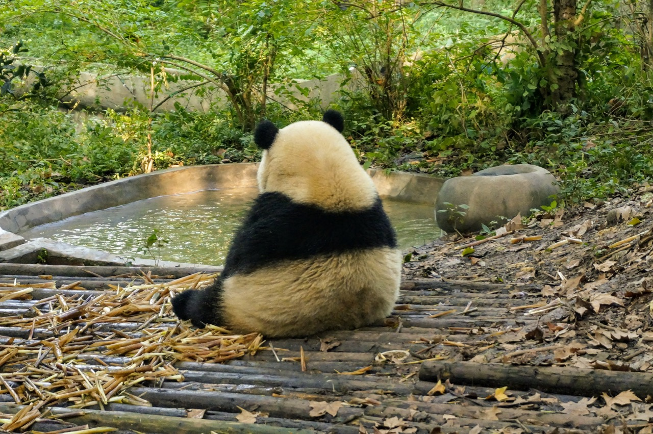 How To Do Your Own Panda Tour in Chengdu 8