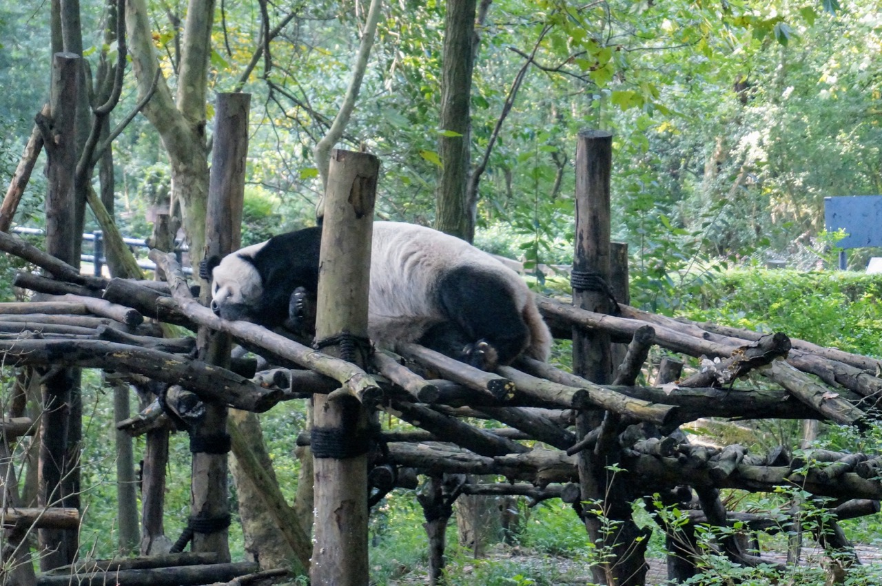 How To Do Your Own Panda Tour in Chengdu 9
