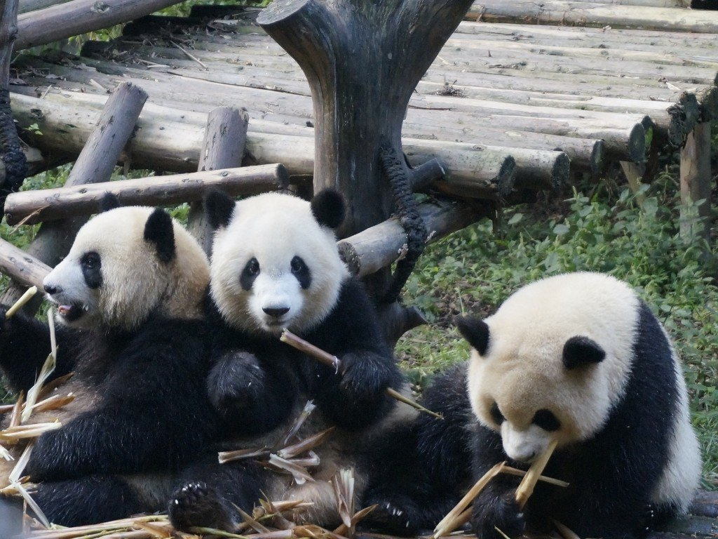 How to do your own panda tour in Chengdu, China. Most tours leave too late to see the pandas awake. Here's how to see the pandas on your own
