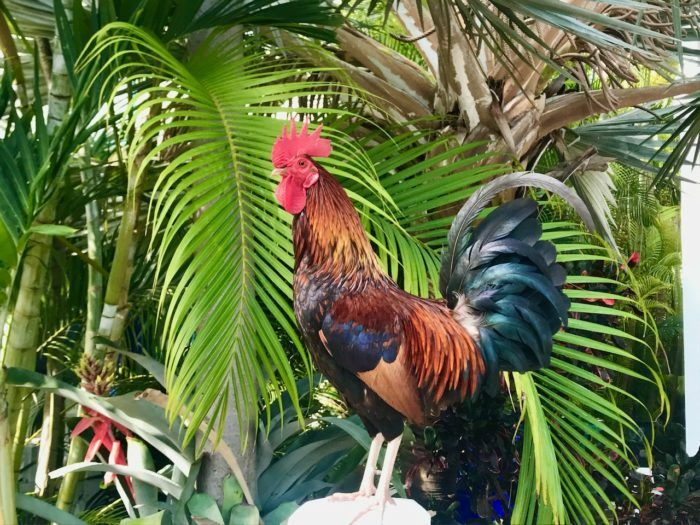 Things to do in Key West Rooster