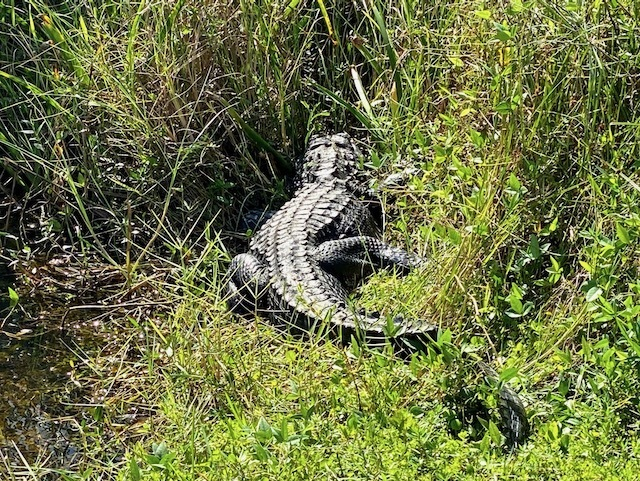 Things To Do In the everglades wildlife