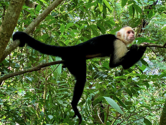 black and chite capuchin monkey in a tree in manuel antonio