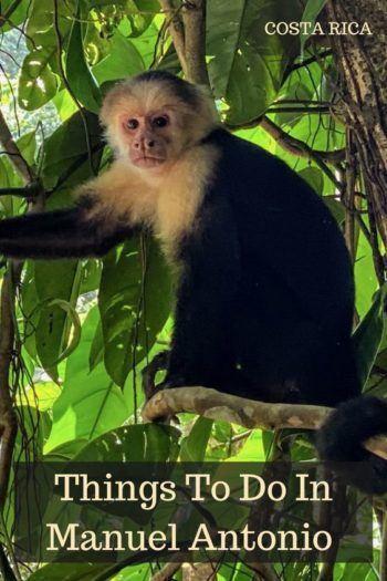 capuchin monkey in a tree in manuel antonio national park in costa rica