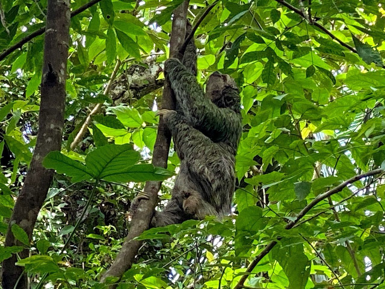 sloth in a tree in costa rica national park