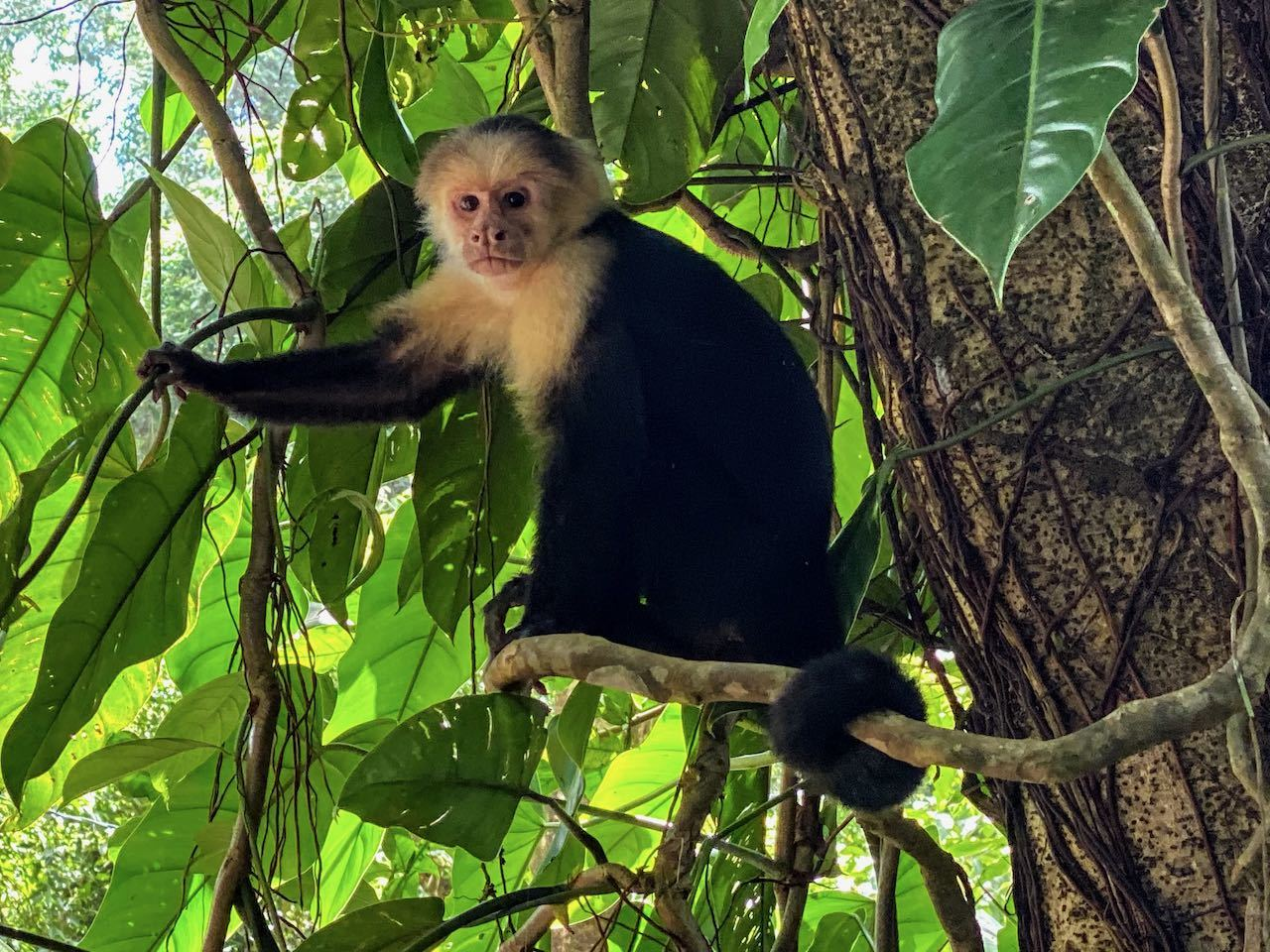 black and white capuchin monkey sat in a tree in manuel antonio national park