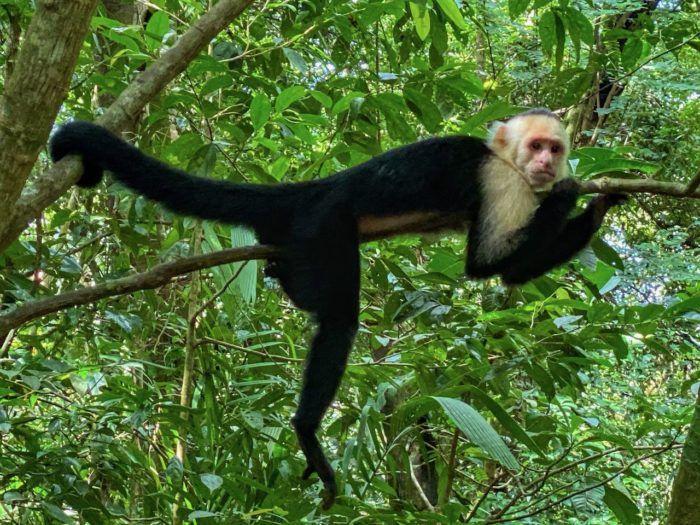 Monkey on a tree in manuel antonio
