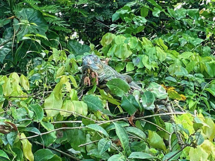 iguana in a tree in Tortuguero national park in costa rica