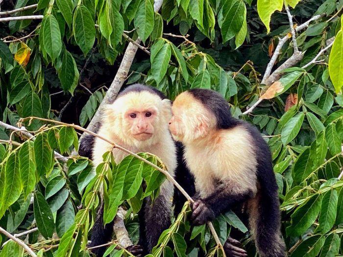 capuchin monkeys in cana negro costa rica