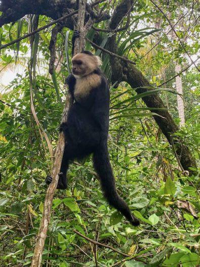 Capuchin monkey hanging onto a tree branch in Cahuita Costa Rica