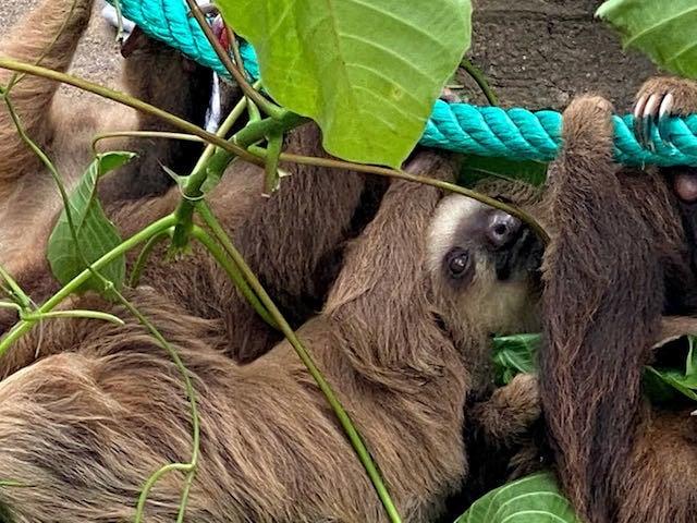 group of sloths at jaguar rescue centre puerto Viejo costa rica