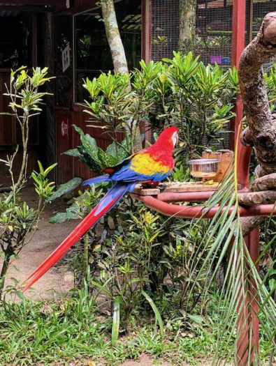 red yellow and blue bird in Jaguar rescue centre in Puerto Viejo costa rica