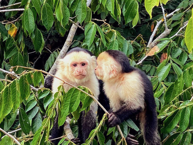 black and white monkeys in the wild in costa rica cana negro