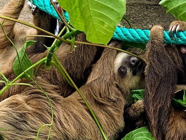 sloths in puerto viejo costa rica